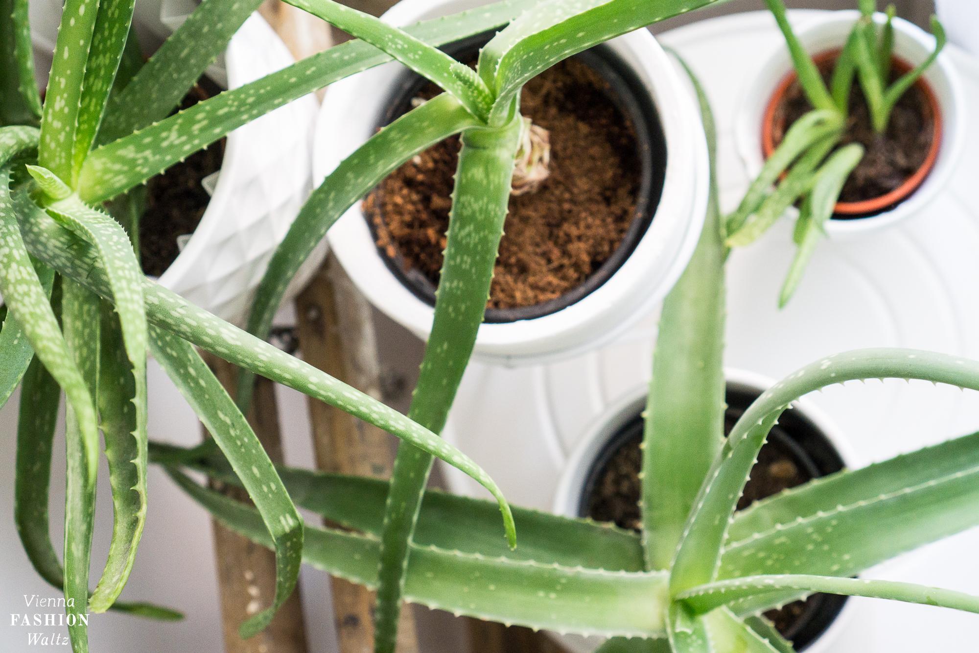 aloe vera pflanzen pflege wirkung und anwendung vfw