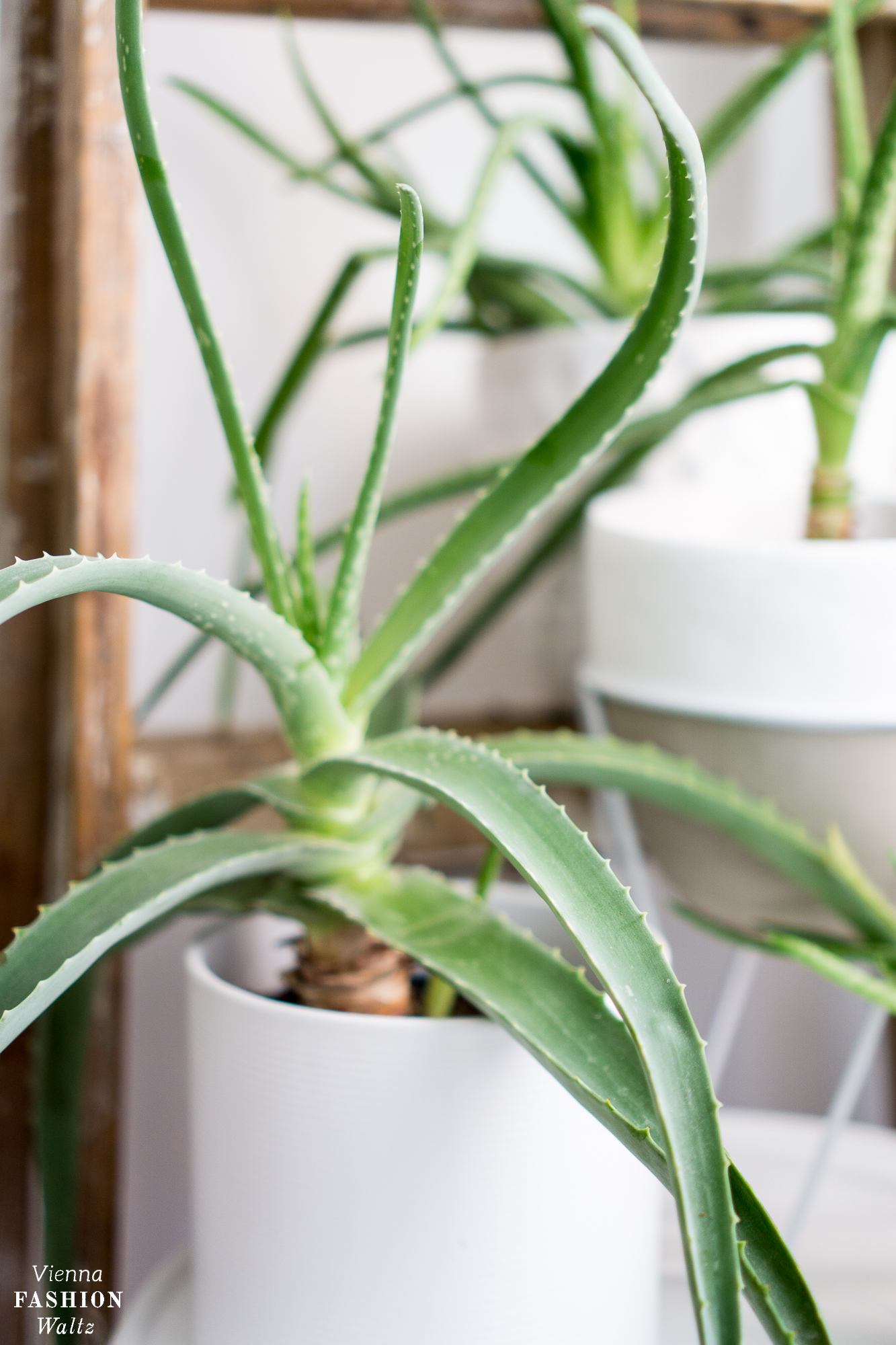 Aloe Vera Pflanzen | Pflege, Wirkung und Anwendung